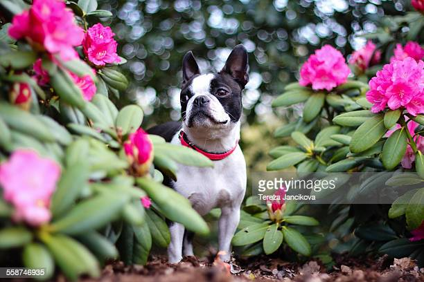 Boston Terrier dog standing between pink flowers