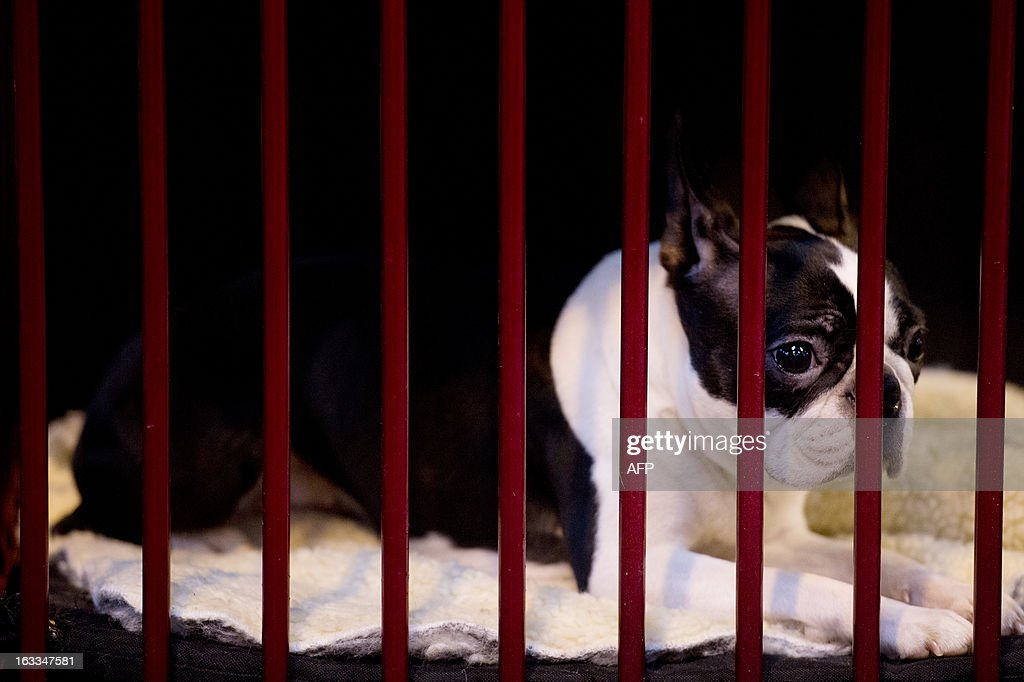 A Boston terrier dogs rests in a kennel during the second day of the Crufts dog show in Birmingham, in central England on March 8, 2013. The annual event sees dog breeders from around the world compete in a number of competitions with one dog going on to win the 'Best in Show' category.