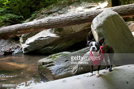 Boston Terrier exploring a river wilderness : Stock Photo