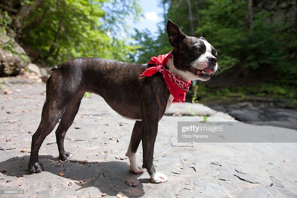 Boston Terrier exploring a rocky wilderness : Foto de stock
