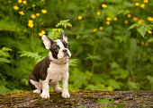 Boston Terrier mixed French Bulldog puppy outside