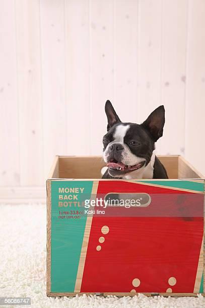 Boston Terrier in a box