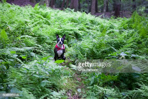 Boston Terrier in a forrest : Foto de stock