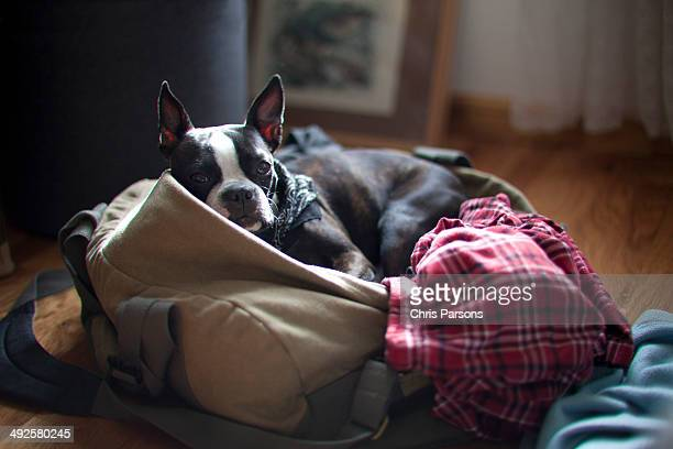 Boston terrier in duffel bag packed for a trip