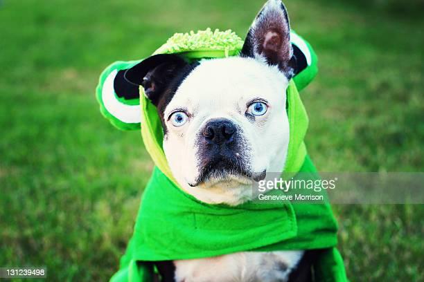 Boston terrier in frog costume