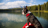 A Boston Terrier dog stands with its front paws on the edge of a kayak in a lake near Banff, Alberta.