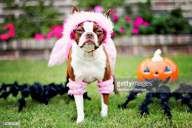 Boston terrier in princess costume