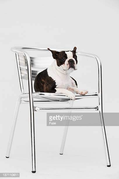 Boston terrier lying on a chair