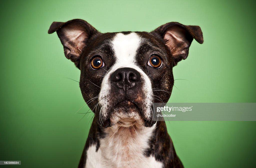 Boston Terrier on Green : Stock Photo
