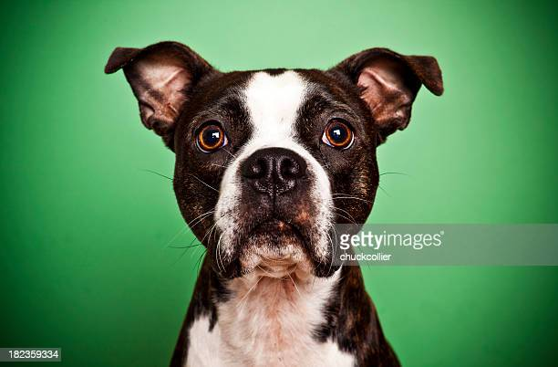 Boston Terrier on Green