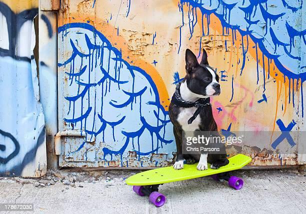 Boston terrier on skateboard in urban setting