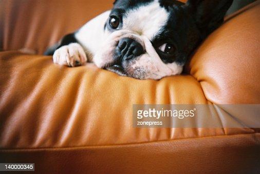 Boston Terrier on sofa : Foto de stock