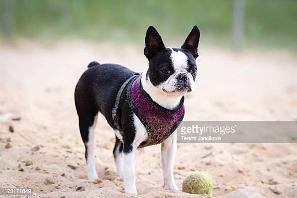 Boston Terrier on the beach
