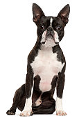 Boston Terrier, one year old, sitting, white background.