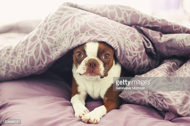 Boston terrier peeking out from covers