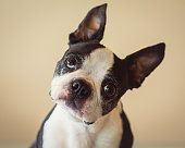 Boston Terrier small black and white pet dog on tan background with ears pointing up tilting his head looking at camera