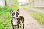 A black and white Boston Terrier with brindle and big ears.