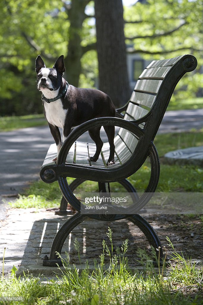 Boston Terrier : Stock Photo