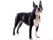 Boston Terrier Standing on Point.