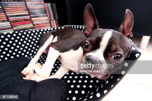 Boston terrier : Stock Photo