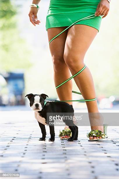 Boston Terrier Puppy Being Walked by Woman