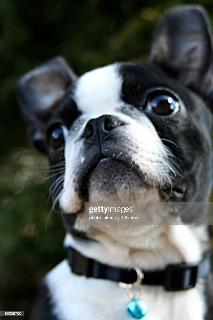 Boston Terrier Puppy Dog looking outward : Stock Photo
