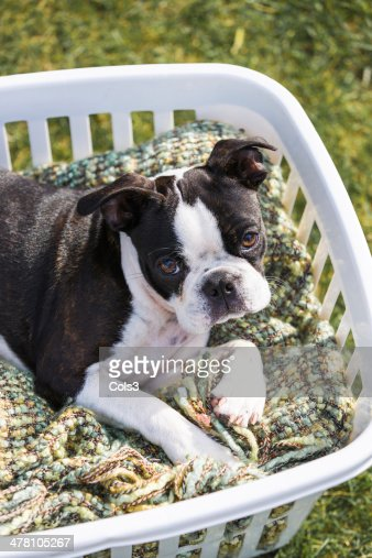 Boston Terrier Puppy in a Laundry Basket : Stock Photo