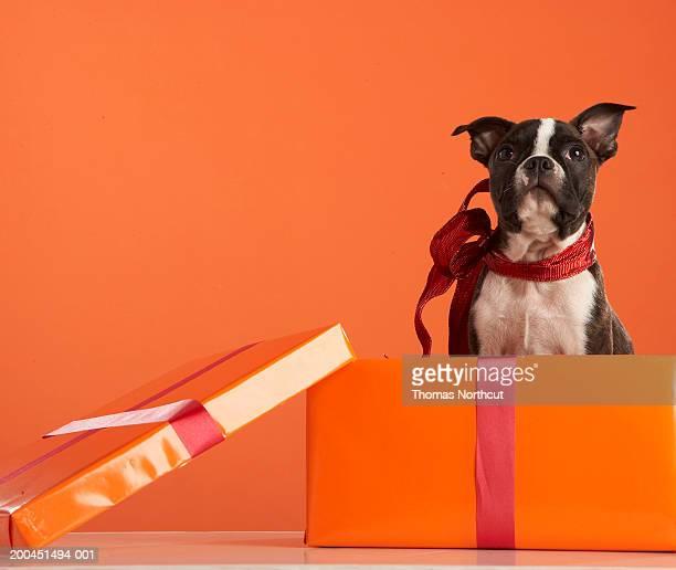 Boston terrier puppy in gift box
