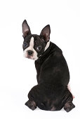 A five-month-old Boston Terrier puppy looks guilty.