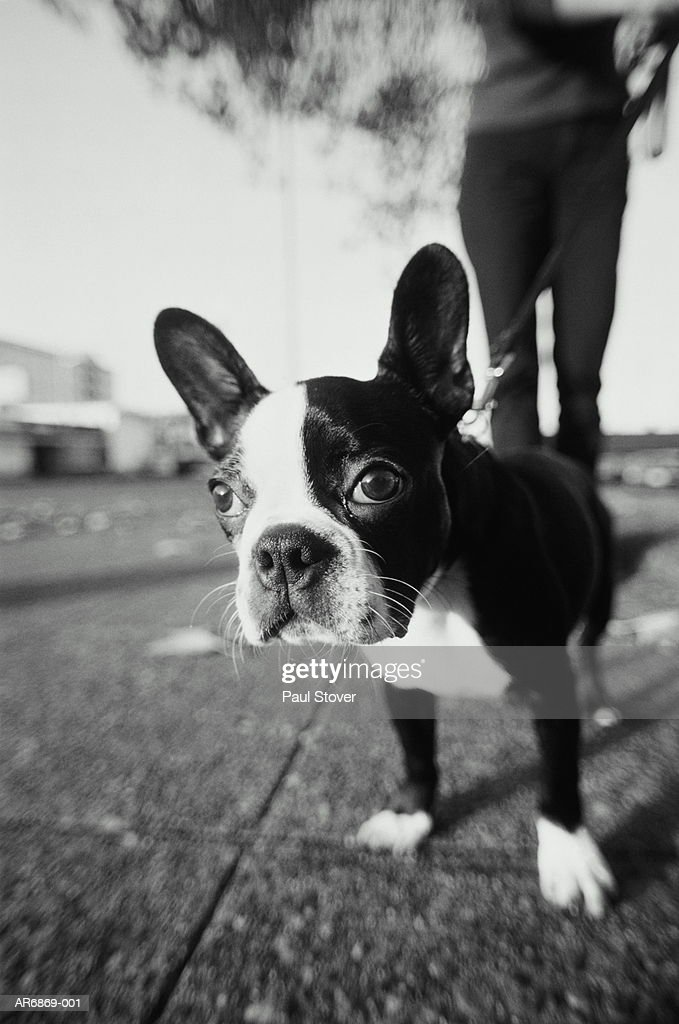 Boston terrier puppy on leash, owner behind, low angle view (B&W) : Stock Photo