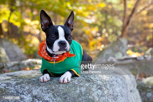 Boston Terrier puppy on rock in forrest. : Stock Photo