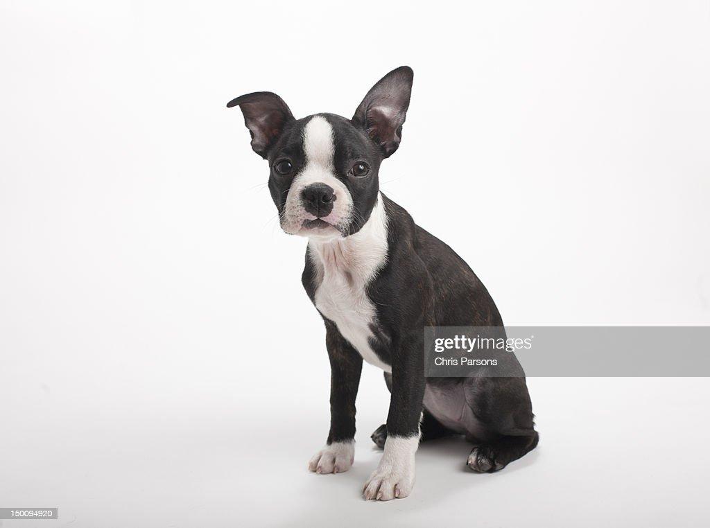 Boston Terrier puppy on white background. : Stock Photo