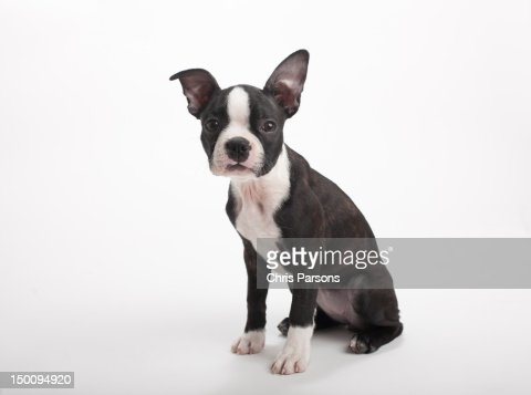 Boston Terrier puppy on white background. : Stock Photo