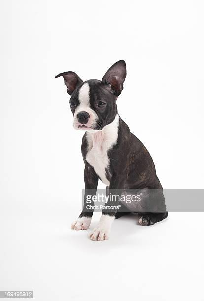 Boston Terrier puppy on white background