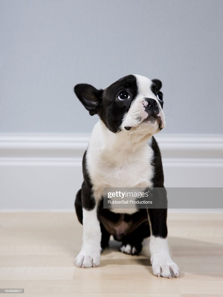 boston terrier puppy : Stock Photo
