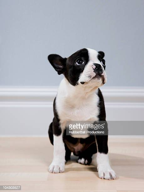 boston terrier Chiot