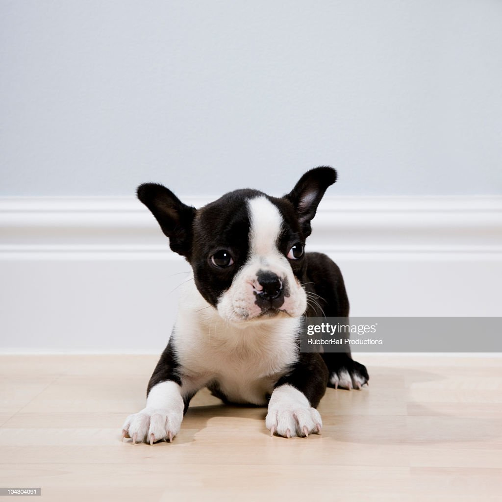 boston terrier puppy : Stock Photo