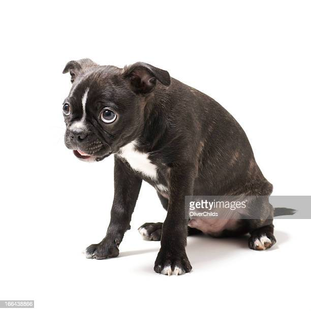 Boston Terrier chiot.