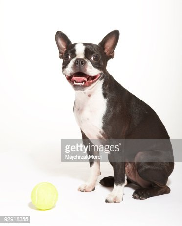 Boston Terrier puppy playing with tennis ball