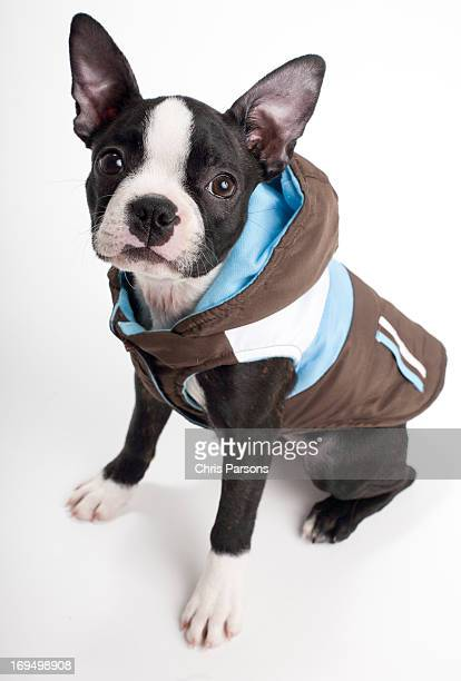 Boston terrier puppy wearing a jacket