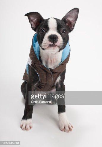 Boston Terrier puppy wearing jacket : Stock Photo