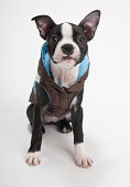 Boston Terrier puppy wearing jacket