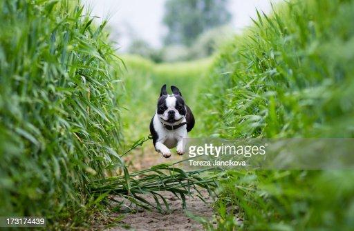 Boston Terrier running through rye field