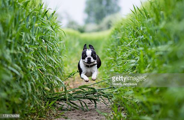 Boston Terrier running through rye field