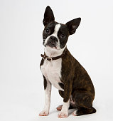 Young Boston Terrier.