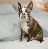 Boston Terrier sitting in bed