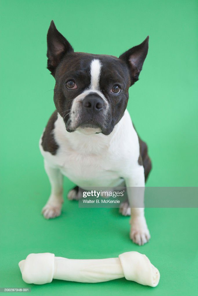 Boston Terrier sitting in front of bone : Stock Photo