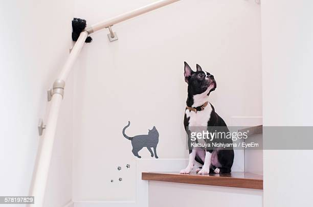 Boston Terrier Sitting On Counter Against White Wall