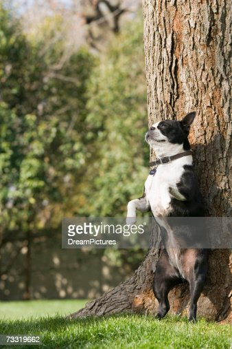 Boston terrier standing on hind legs against tree : Stock Photo