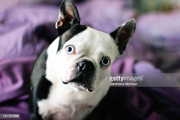 Boston terrier tilting his head